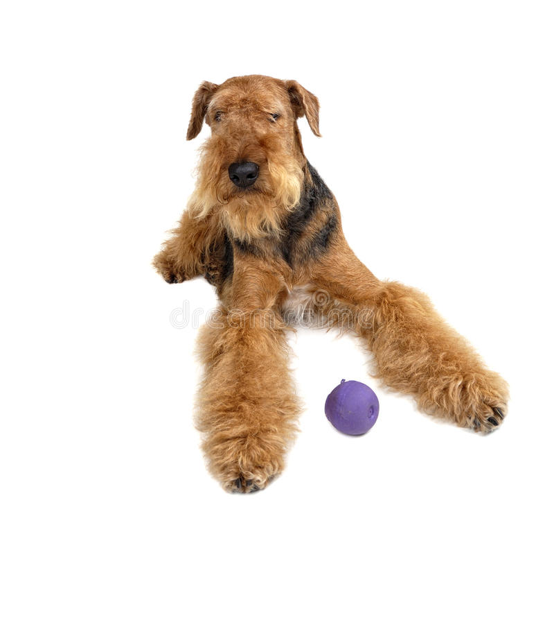 Free Airedale Stock Photography - 13484622