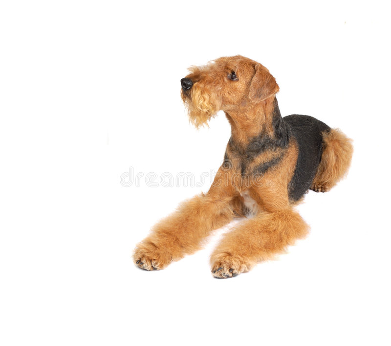 Airedale stockfotos