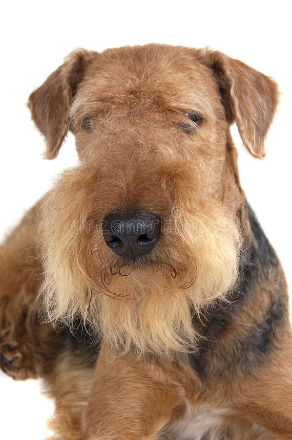 Airedale stock foto