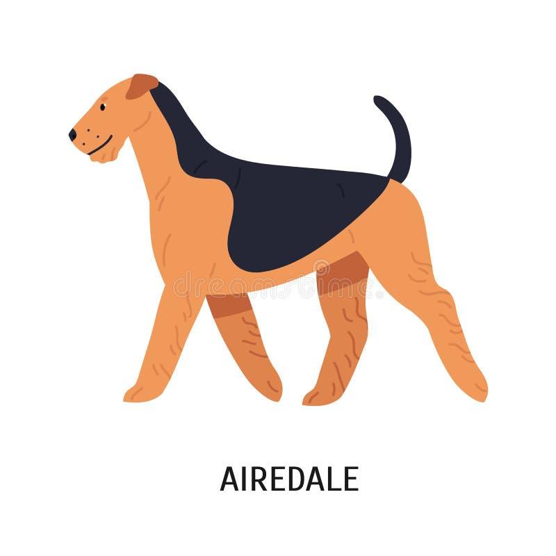 Airedale, Bingley o Waterside Terrier Bello cane di cercare razza con il cappotto flessibile, vista laterale Animale domestico di illustrazione di stock