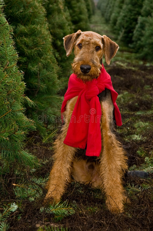Download Airedale Dog Christmas Trees Royalty Free Stock Image - Image: 6430016
