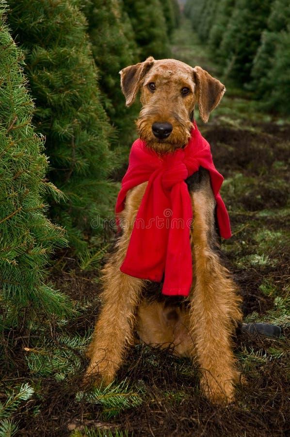 Airedale en árboles de navidad imagen de archivo libre de regalías