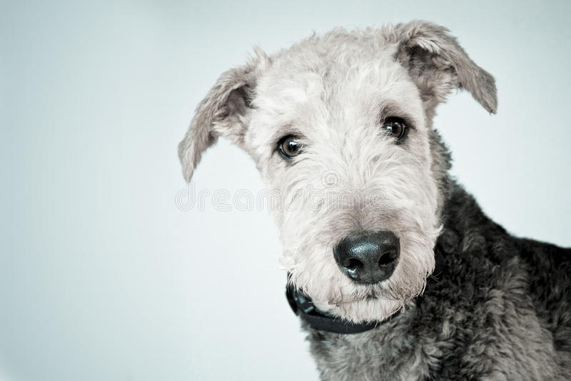 Airedale-Hund lizenzfreies stockfoto