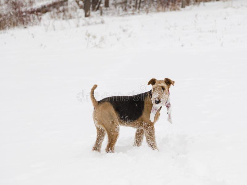 Airedale lindo Terrier con la situación de la bufanda del invierno en campo cubrió en nieve fresca fotografía de archivo libre de regalías