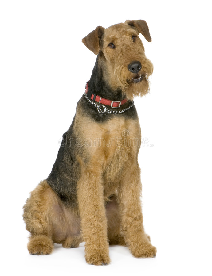 Download Airedale Terrier (1 year) stock photo. Image of tongue - 4736938