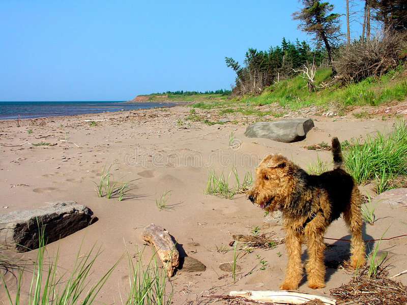Download Airedale Terrier Stock Photos - Image: 1413983