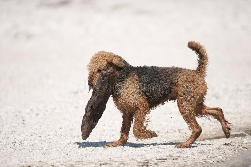 Airedale Terrier is carrying big log. White background stock images