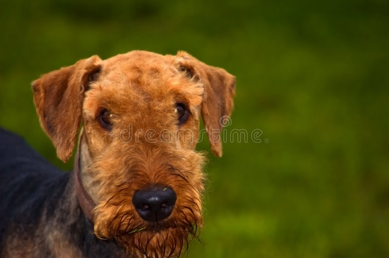 Download Airedale Terrier Dog In Front Of Green Background Stock Image - Image of portrait, dogs: 6546521