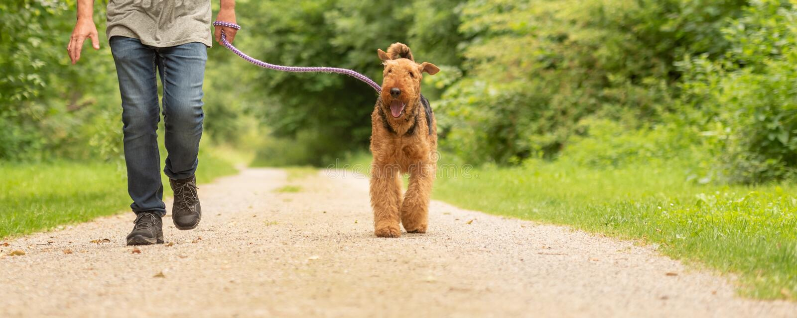 Airedale Terrier. Dog handler is walking with his obedient dog on the road in a forest. Airedale Terrier. Dog handler is walking with his obedient dog on a rural royalty free stock image