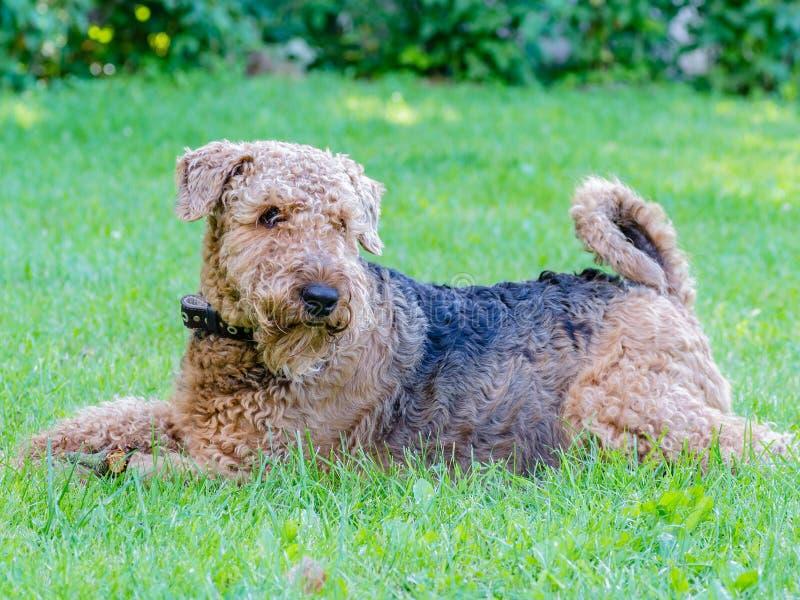 Airedale Terrier es un perro fuerte y muscular de la talla media fotografía de archivo