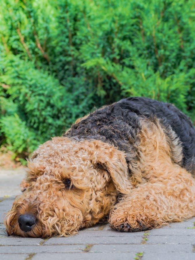 Airedale Terrier es un perro fuerte y muscular de la talla media fotos de archivo