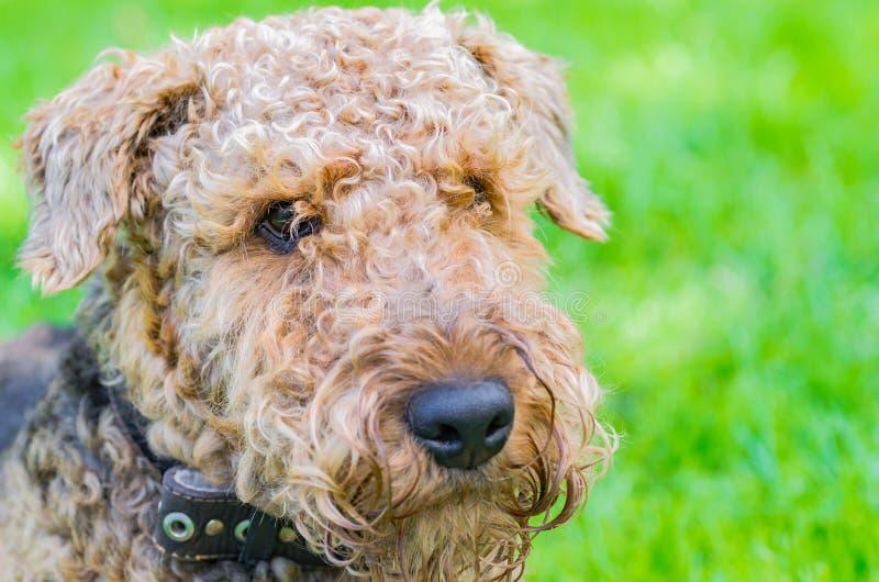 Airedale Terrier es un perro fuerte y muscular de la talla media foto de archivo libre de regalías