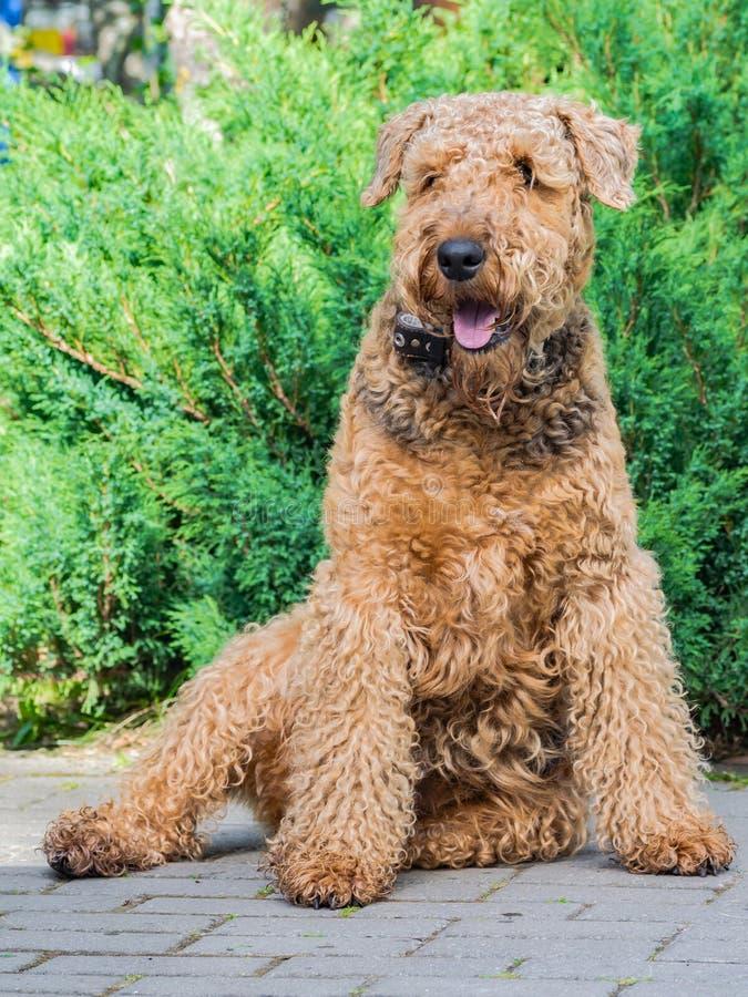 Airedale Terrier es un perro fuerte y muscular de la talla media imagen de archivo