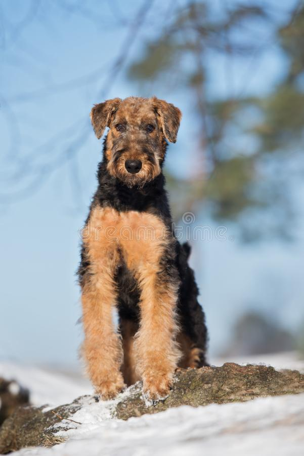 Adorable airedale terrier puppy outdoors in winter. Airedale terrier puppy outdoors in winter royalty free stock photo