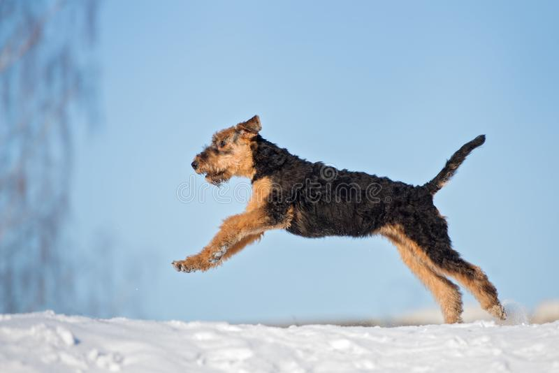 Airedale terrier puppy running outdoors in winter. Airedale terrier puppy outdoors in winter stock photos