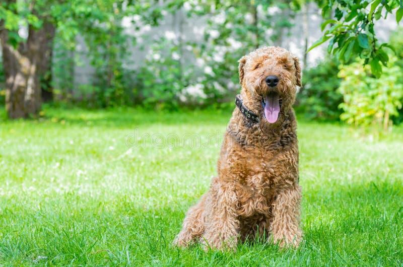 Airedaleterriern Terrier är en stark och muskulös hund av medelformatet royaltyfri foto