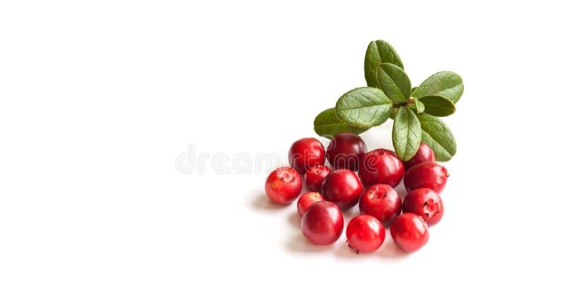 Airela selvagem isolada no fundo branco Vitis-idaea vermelho maduro do Vaccinium das bagas da floresta com folhas verdes Copie o  imagens de stock royalty free