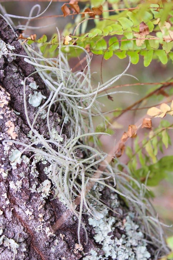 Airfern precioso que crece dentro de la corteza de un árbol imagenes de archivo