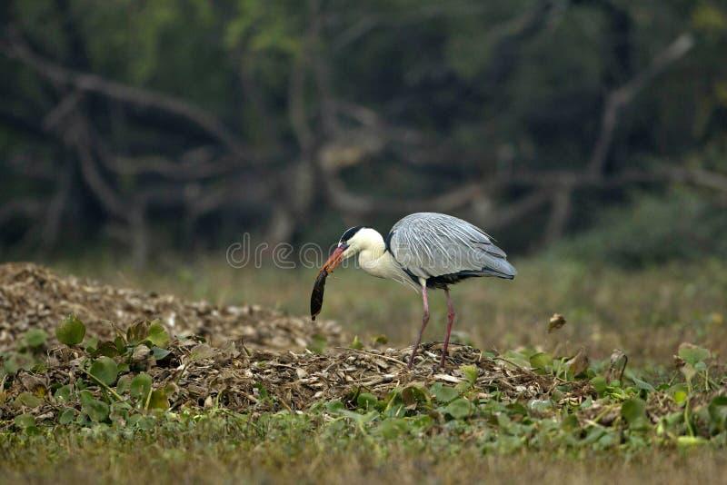 Airone, Ardeidae, parco nazionale di Keoladeo Ghana, Bharatpur, Ragiastan, India fotografia stock