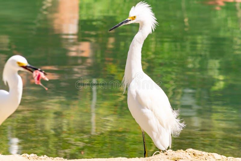 Airone bianco e egretta bianca su una sponda del fiume fotografia stock libera da diritti
