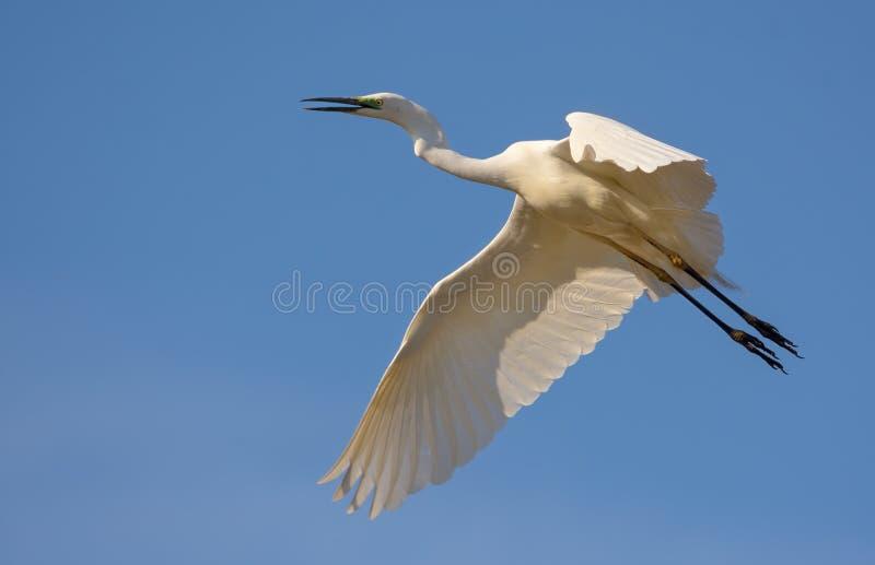 Airone bianco maggiore adulto che chiama e che grida in volo con il becco aperto e le gambe allungate fotografia stock libera da diritti