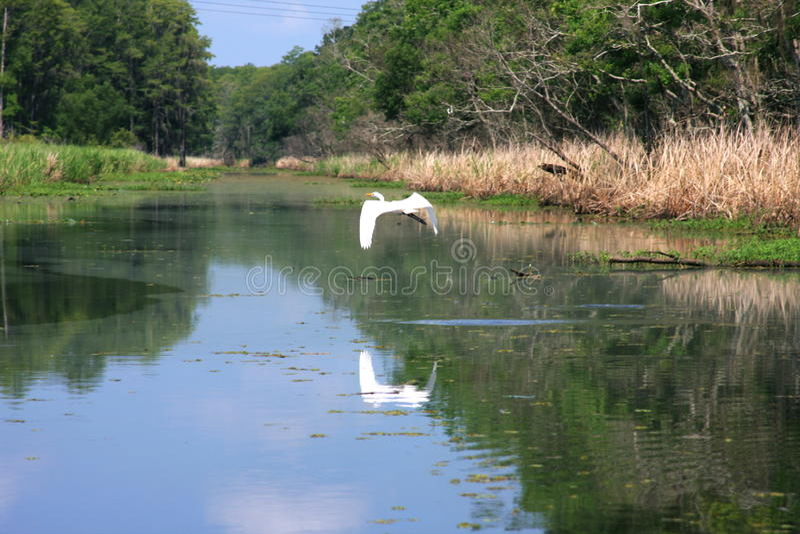 Airone bianco maggiore che sorvola il ramo paludoso di fiume fotografia stock libera da diritti