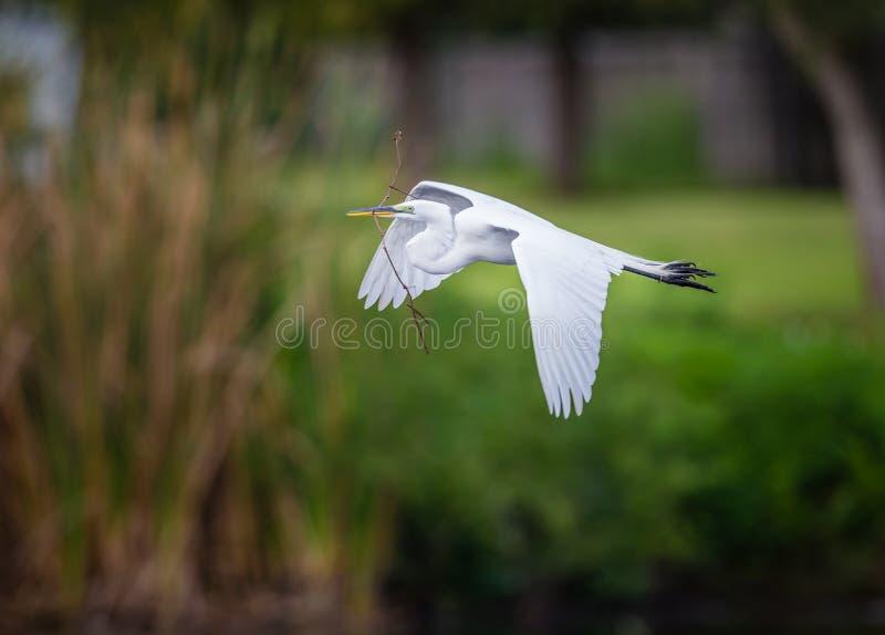 Airone bianco maggiore con materiale per il nido in becco immagini stock libere da diritti