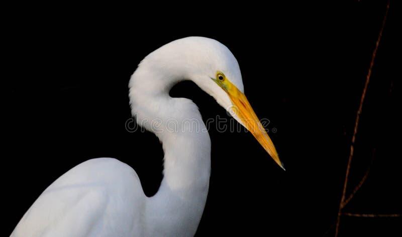 Airone bianco maggiore contro un fondo nero fotografia stock