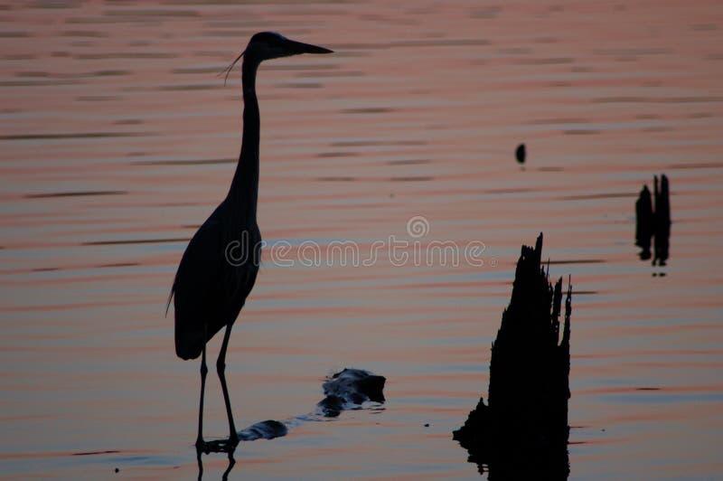 Airone blu al tramonto fotografia stock libera da diritti