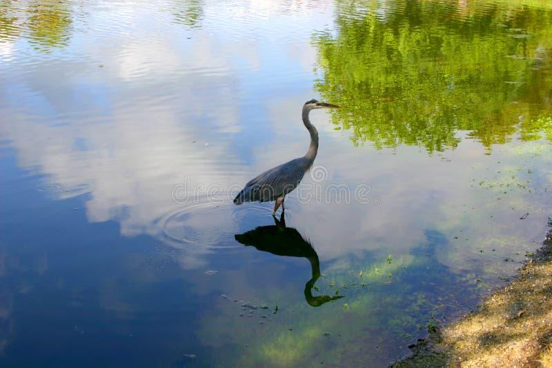 Airone blu e riflessione fotografia stock libera da diritti