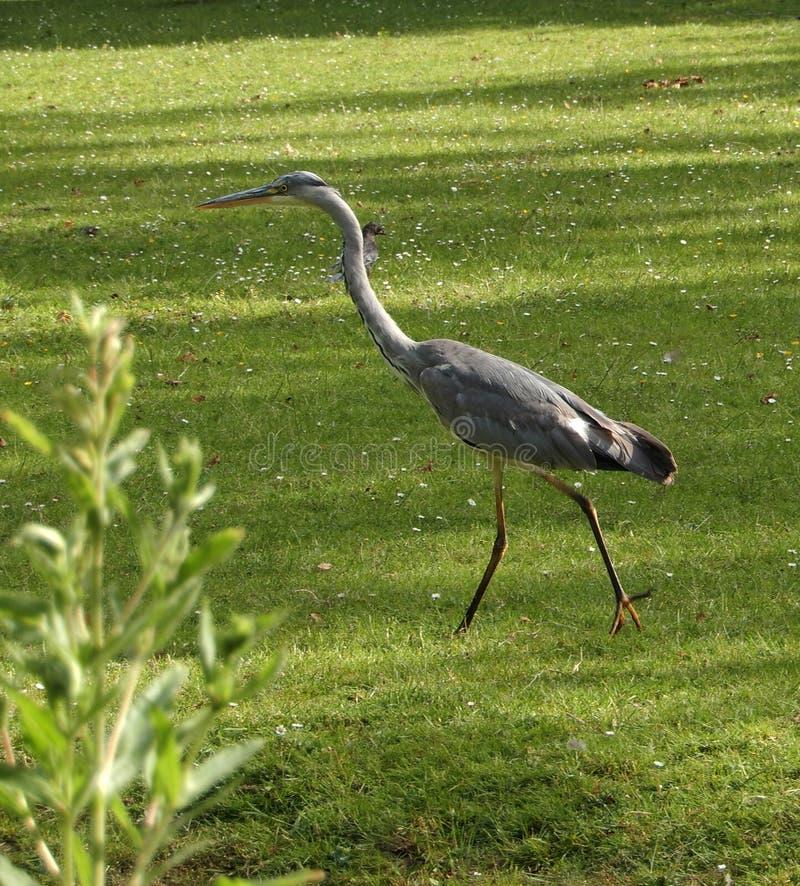 Airone che cammina lentamente su un campo di erba fotografie stock