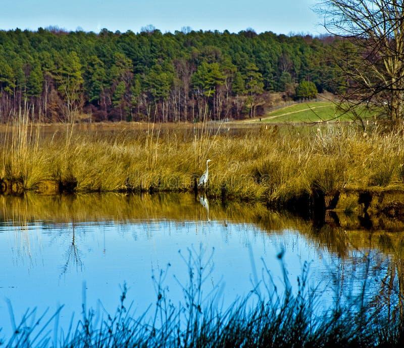 Airone di Crabtree del lago immagini stock libere da diritti