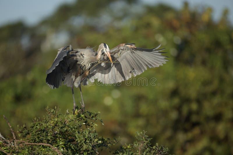 Airone di grande blu alla colonia di corvi di Venezia fotografia stock