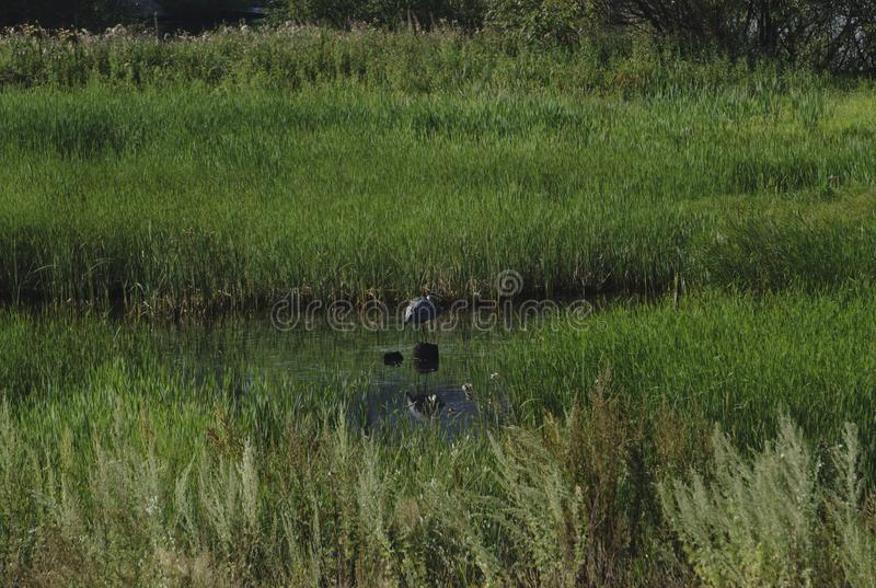 Airone di grande blu che posa nella zona umida di Florida all'alba immagine stock libera da diritti