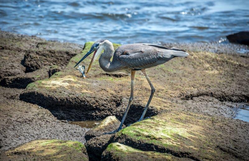 Airone di grande blu che prende un granchio nuotatore sulla baia di Chesapeake fotografia stock libera da diritti