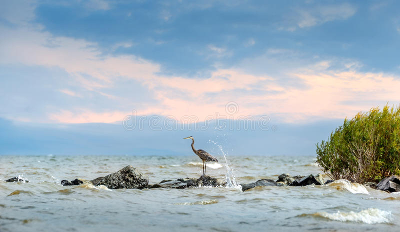 Airone di grande blu che sta sul molo con la spruzzatura dell'acqua immagini stock libere da diritti
