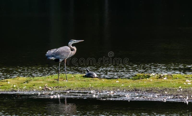 Airone di grande blu della baia di Chesapeake fotografia stock libera da diritti
