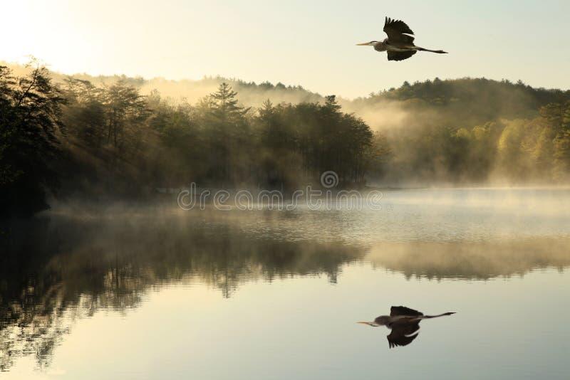 Airone di grande blu Flys sopra il lago nebbioso all'alba fotografie stock