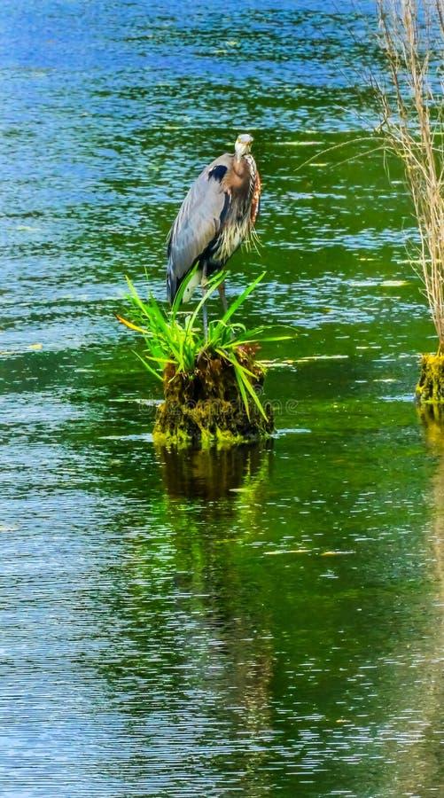Airone di grande blu Juanita Bay Park Lake Washington Kirkland Washi fotografie stock