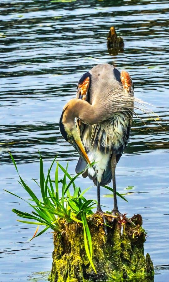Airone di grande blu Juanita Bay Park Lake Washington Kirkland Washi fotografia stock