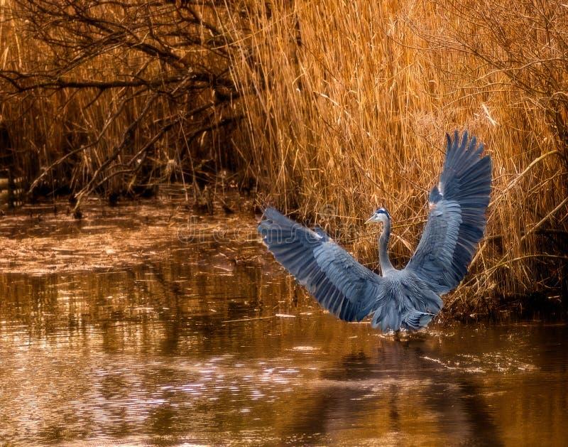 Airone di grande blu nelle erbe dell'isola di Chincoteague immagini stock