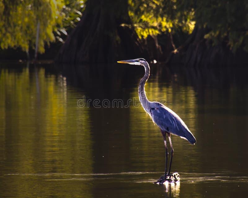 Airone di grande blu retroilluminato che guada mentre pescando nel lago fotografie stock