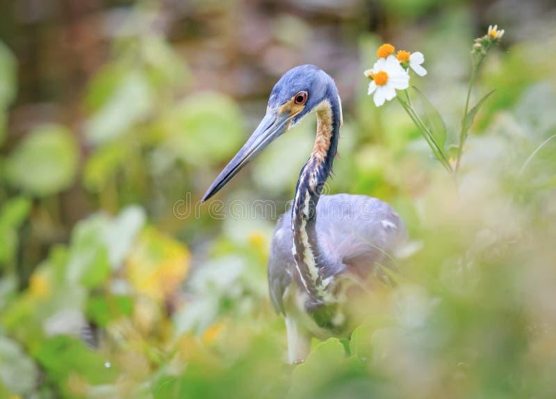 Airone di piccolo blu in fiori della molla di Florida immagini stock