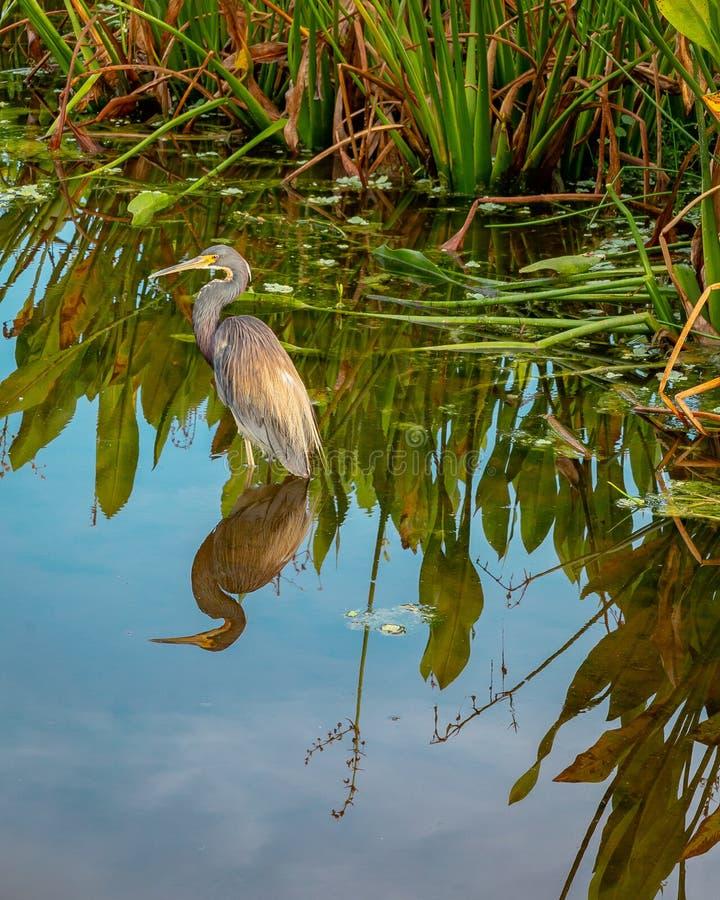 Airone di Tricolored che guada in Florida del sud immagini stock