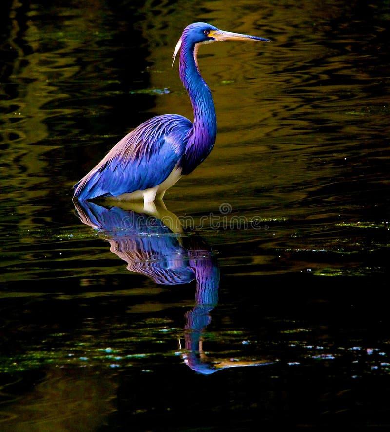 Airone di Tricolored con la riflessione fotografia stock libera da diritti