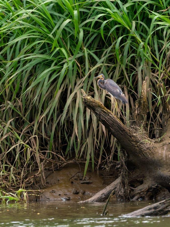 Airone ( di Tricolored; Egretta tricolor) in Costa Rica fotografia stock