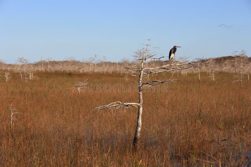 Airone di Tricolored nel parco nazionale dei terreni paludosi immagine stock