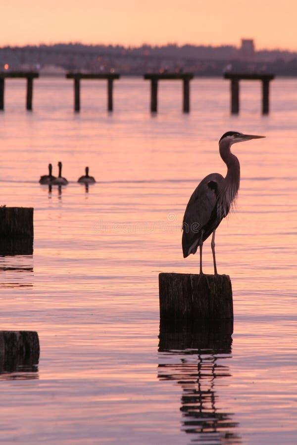 Airone e tramonto di grande azzurro fotografia stock