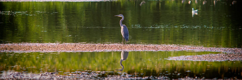 Airone grigio alla ricerca di alimento nel banco del lago nella sera fotografie stock