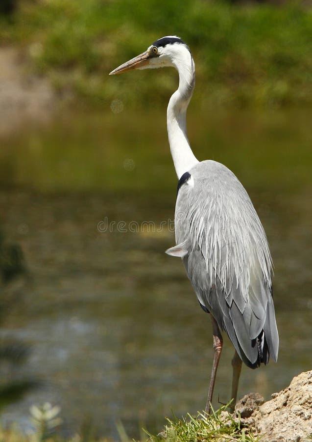 Airone grigio su una banca di fiume fotografia stock